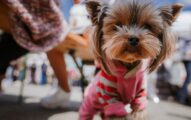 Outfits For Your Yorkshire Terrier: Good Clothes to Keep Them Warm